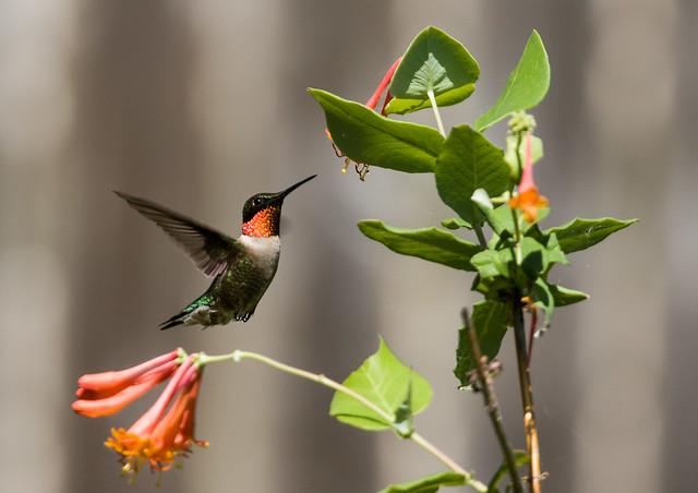 0P7A9527   Ruby-throated Hummingbird, Canada