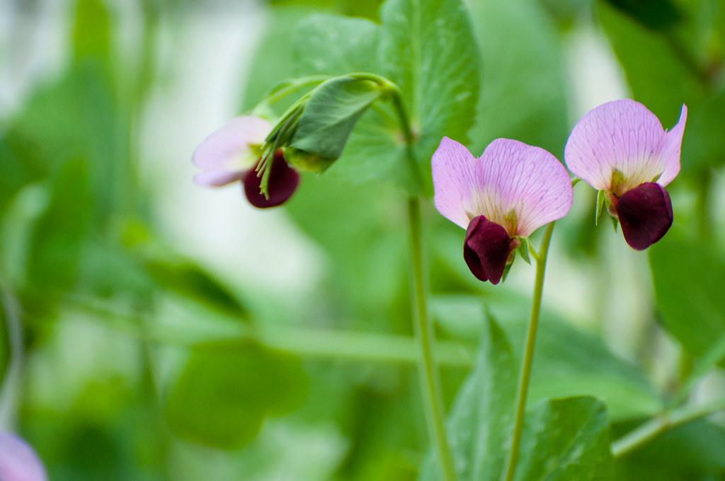DSC_6183_green peas_backyard_041821