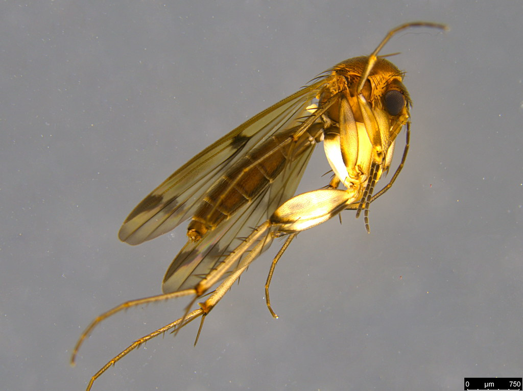 2a - Sciaroidea sp.