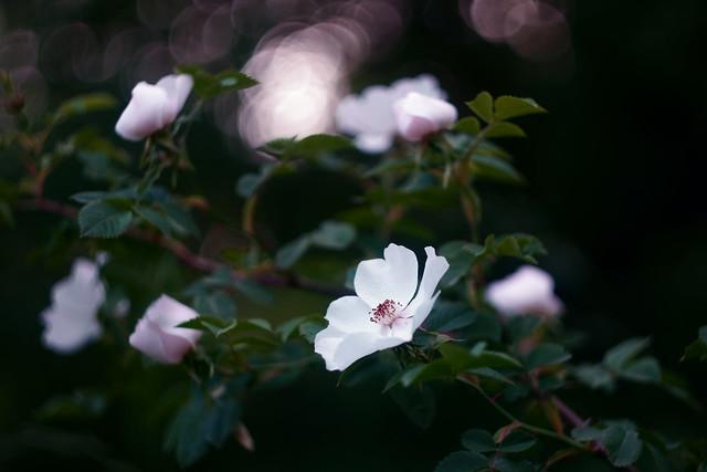 Шиповник / Wild rose (4)