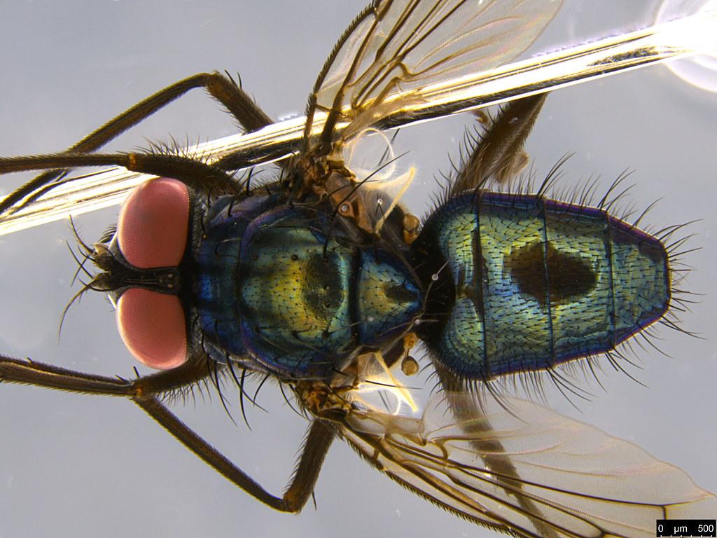 5b - Calliphoridae sp.