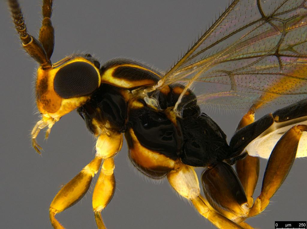 9b - Ichneumonidae sp.