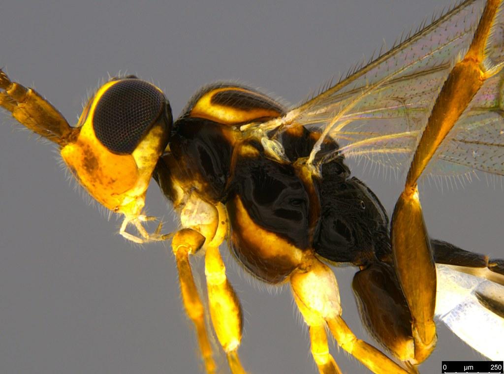 10b - Ichneumonidae sp.