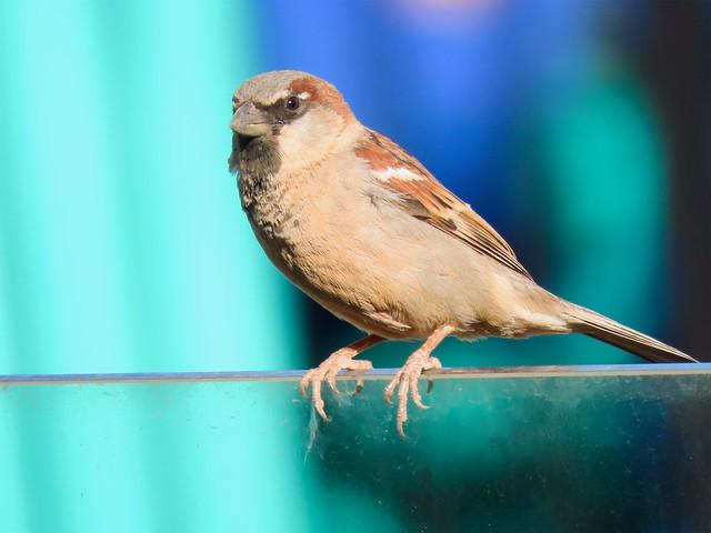 Pardal/House Sparrow