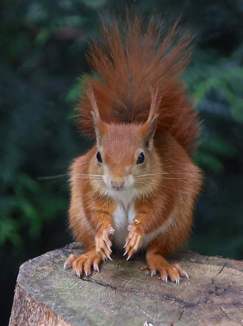 Red Squirrel by Jacqui Titcombe