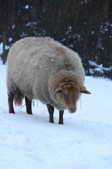 Sheep in the snow (II)