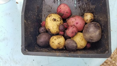 Half Pint of Potatoes