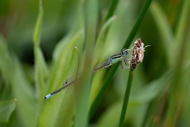 Ischnura pumilio, Lille farvevandnymfe, Small bluetail, male
