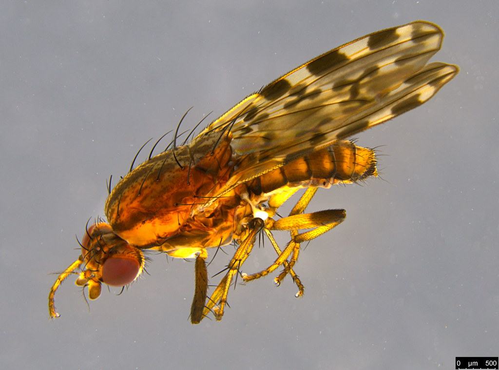 3b - Diplogeomyza maculipennis (Malloch, 1926)