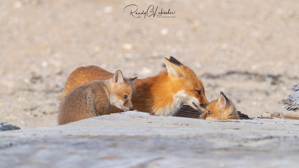 Red Fox | Vulpes Vulpes | 2021 - 32