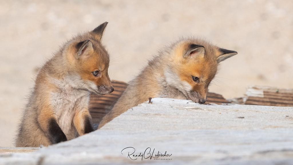 Red Fox | Vulpes Vulpes | 2021 - 31