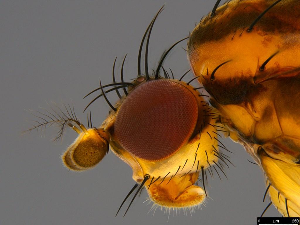 3d - Diplogeomyza maculipennis (Malloch, 1926)