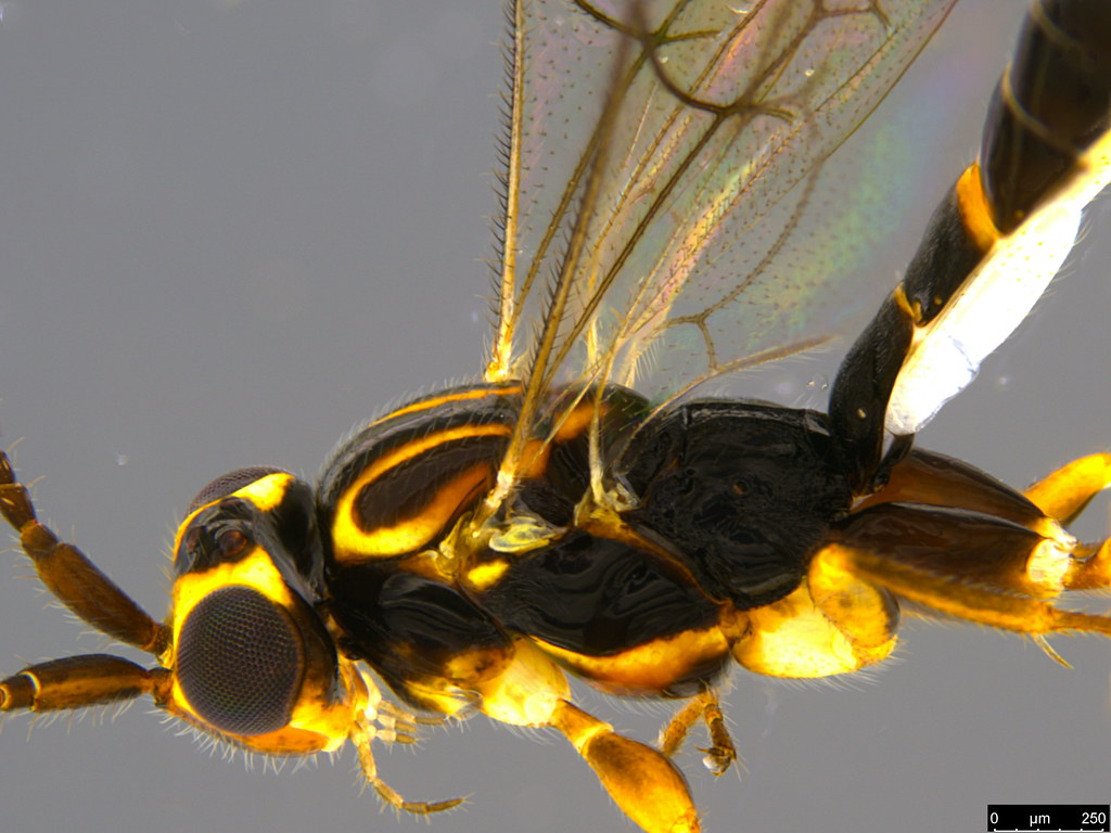 7c - Ichneumonidae sp.