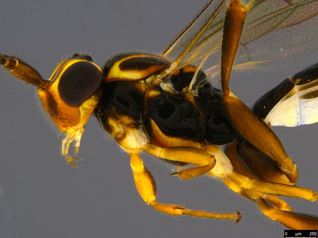 8b - Ichneumonidae sp.