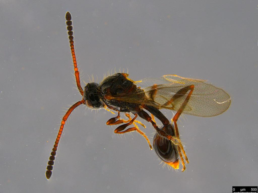 13 - Diapriidae sp.