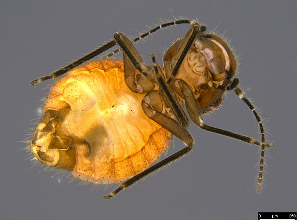 15b - Liposcelidae sp.