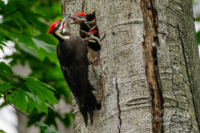 Pileated Woodpecker / Grand Pic