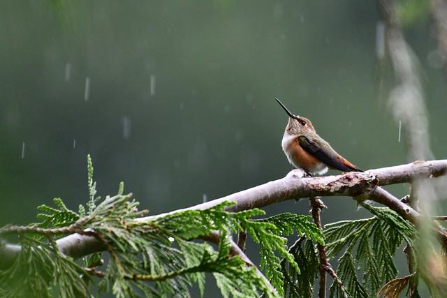 Rufous in the rain…