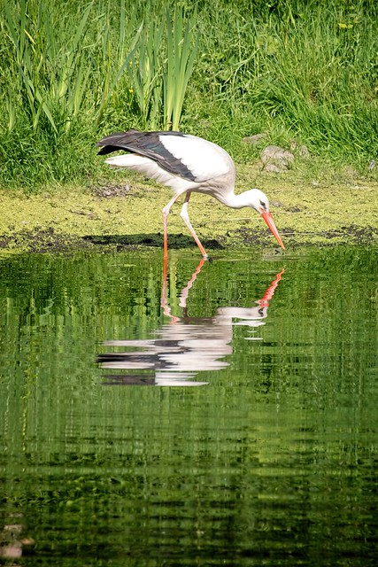 Stork in the water with reflection   June 13th 2021   Schleswig-Holstein - Germany