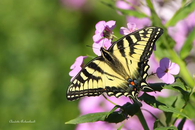 Papillon Tigré du Canada, Canadian Tiger Swallowtail