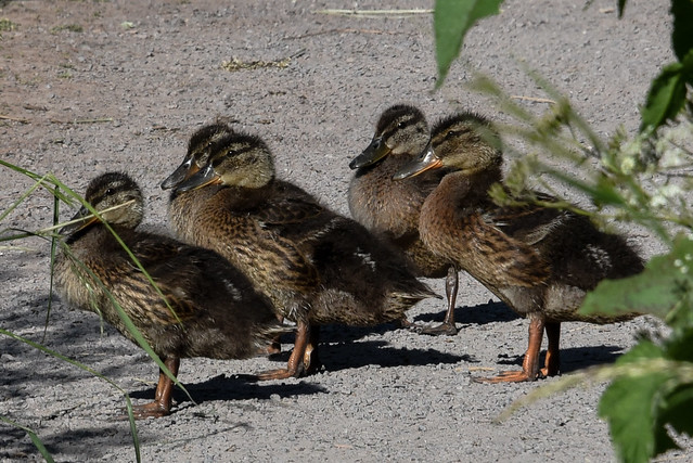 Ducklings on the path....