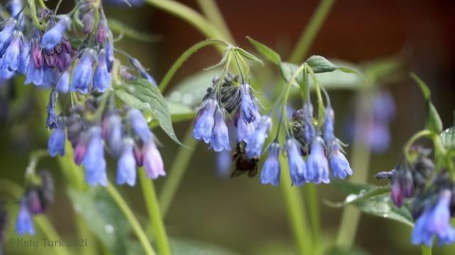 Bumblebee and Bluebells