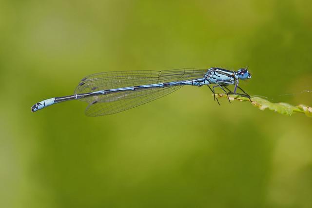 Coenagrion puella - The azure damselfly