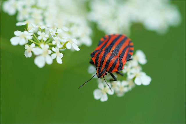 striped insect for MM