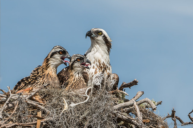 Osprey with Two Chicks