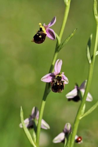 Ophrys fuciflora 51246831539_8457328169