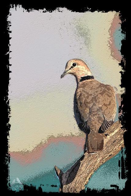 KV4A3123   Cape Turtle Dove