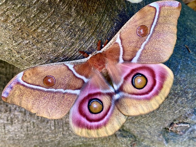 The amazing winged eyes of a Madagascan Bullseye Moth.