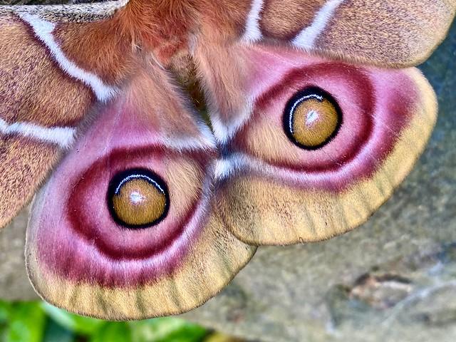 The amazing winged eyes of the Madagascan Bullseye Moth.