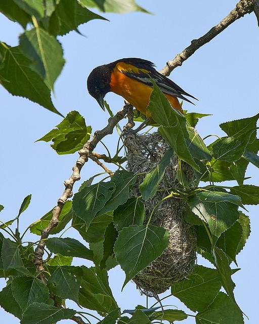 Oriole Tending His Nest_A7R0318
