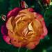 Qrange Cimnbing Rose blossom near our arbor