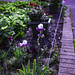 Garden on side of driveway with Hosta, Iries, Roses and Hydrangeas
