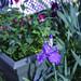 2021-MFDG257-Dig Blue bearded iris