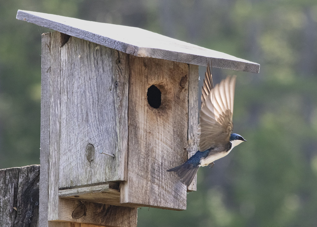 tree swallow leaving home