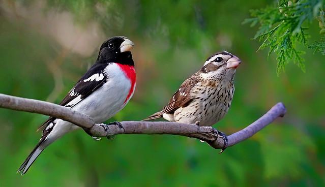 Rose-breasted Grosbeaks