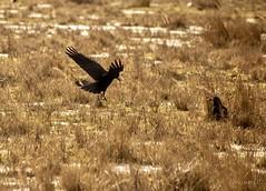 rook (Corvus frugilegus) // Graja