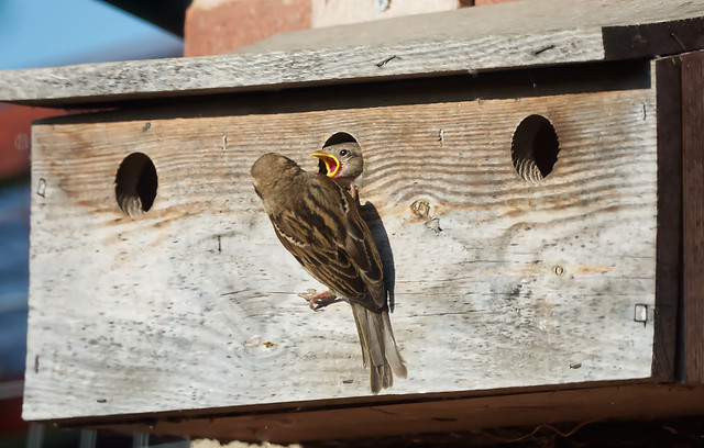 Nesting House Sparrows