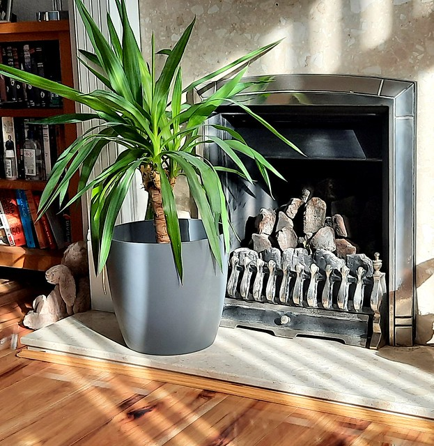 Yucca in the fireplace
