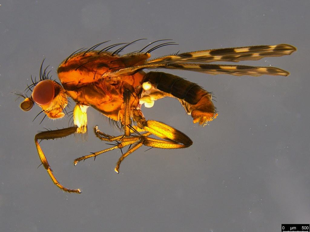 4a - Diplogeomyza maculipennis (Malloch, 1926)