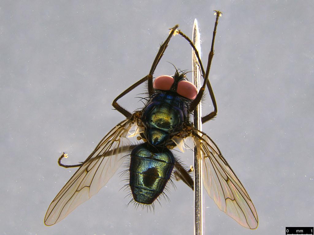 5a - Calliphoridae sp.