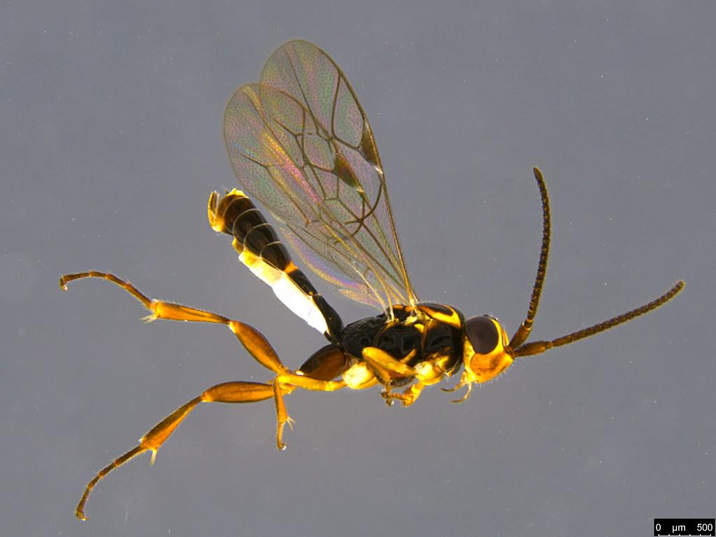 7a - Ichneumonidae sp.
