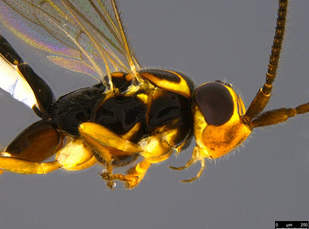 7b - Ichneumonidae sp.