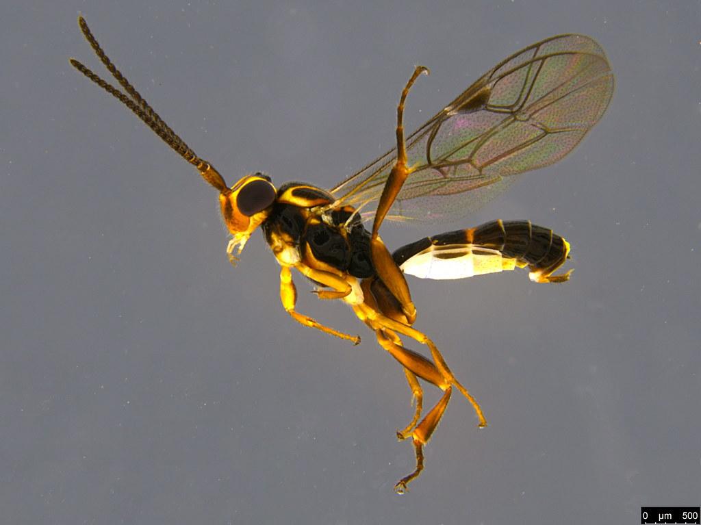 8a - Ichneumonidae sp.