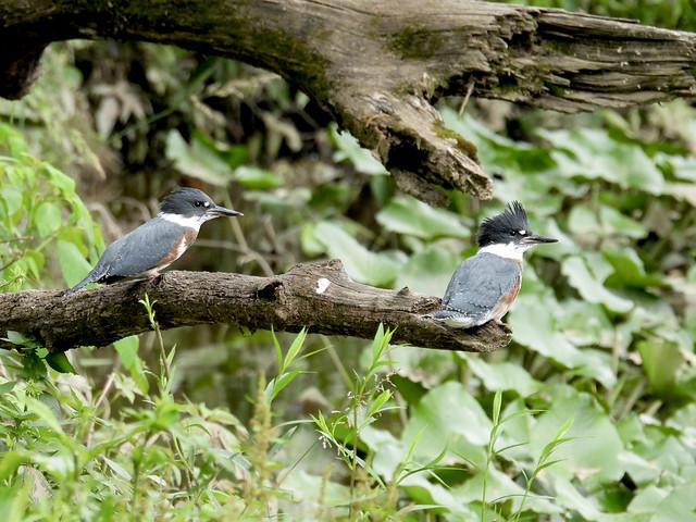 Belted Kingfishers, Bucks County, PA, June 2021