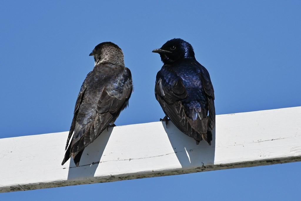 Hirondelle noire femelle et mâle--Purple Martin female and male(Progne subis)