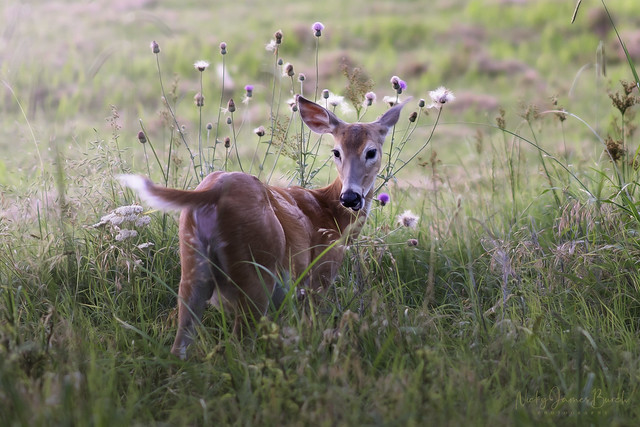 Deer with Thistles